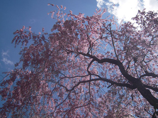 Merlian House Cherry Blossom - Photograpgh by Dena Ventrudo