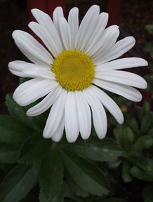 Daisy - Photograph by Dena Ventrudo