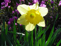 March's flower is the Daffodil. Photograph by Dena Ventrudo