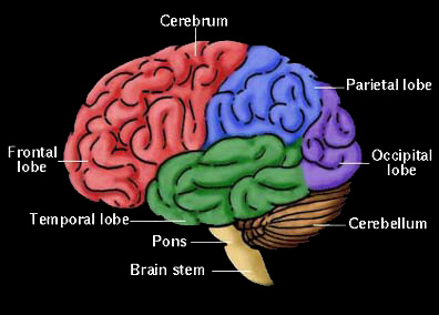 The Human Brain - www.holisticeducator.com/brain.htm